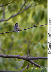 throated, rubin, hummingbird