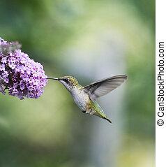 throated, rubis, femme, colibri