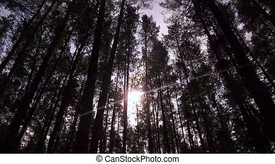 Through the thick tops of the trees, the sun breaks through in the forest