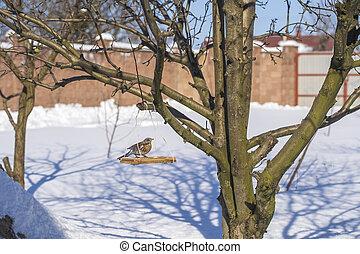 Thrush bird on feeder at winter, close up