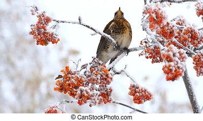 Thrush eats rowan berry in winter