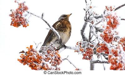 Thrush eats rowanberry on the winter