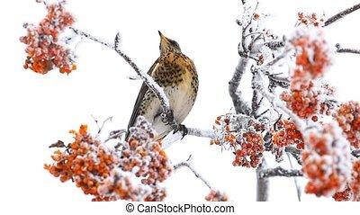 Thrush on the rowan berry tree in winter