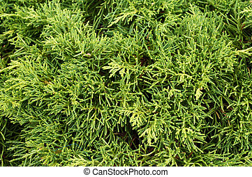 Thuja (arbor vitae). Green background. - Thuja (arbor...