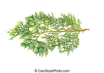 Thuja branch on a white background