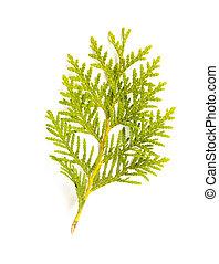 A green Thuja (cedar) leaf detail on white background