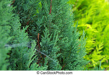 Thuja Green with spider web