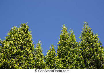 Thuja hedge at blue sky - Tall thuja hedge plants at blue...