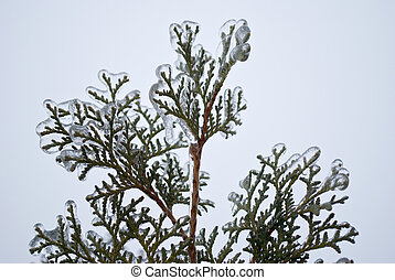 Thuja in ice cold