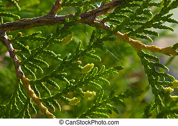 Thuja needles and young cones