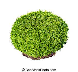 thuja, occidentalis, selena, grün, busch, freigestellt, weiß, hintergrund.