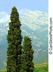 thuja on the background of Mountain