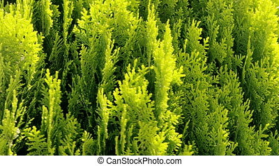 Thuja - ornamental tree detail, sways in the wind.