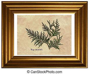 Thuja standishii in herbarium - Herbarium from pressed and ...