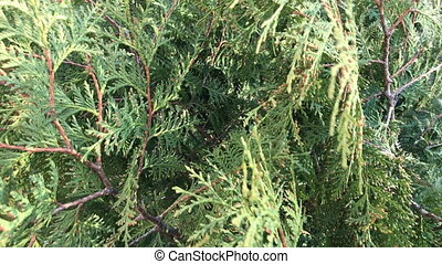 Thuja. The branches of the bush sway in the spring wind.