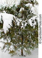 Thuja tree in winter city park