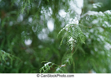 thuja tree in winter with snow closeup