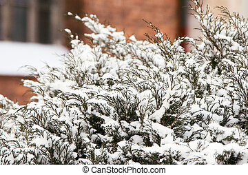 thuja under snow