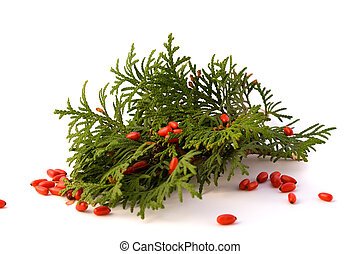 Thuja with red barberry