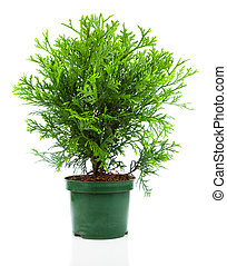 Thujopsis is a conifer in the cypress family Cupressaceae,...