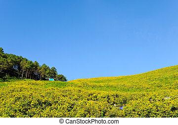 Thung Bua Tong flowers Doi Mae Yuam, Tree Marigold will...