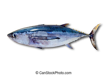 thunnus, fish, odizolowany, albacore, tuńczyk, alalunga