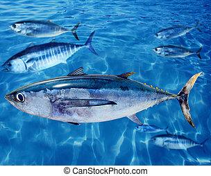 thunnus, pez, bluefin, albacore, atún, alalunga