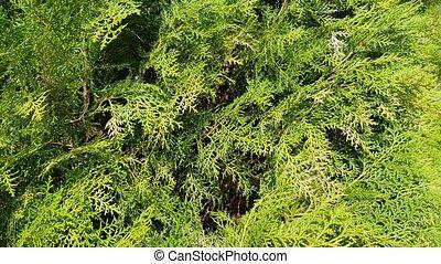 Thuya leaves closeup evergreen bush. Natural plant pattern...