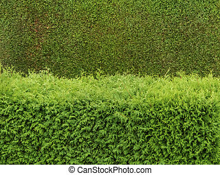 thuyas as screens - a hedge of arborvitae as a screen in a ...