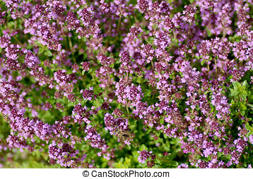 Thyme background - Blooming thyme as background