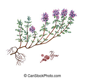 Thyme. Hand drawn watercolor painting on white background.