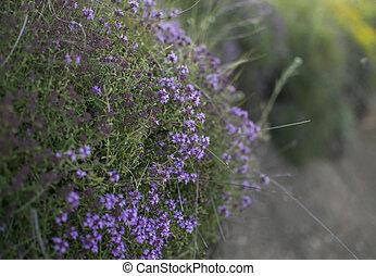 Thyme herb on lake shore