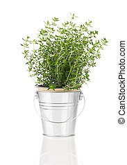 thyme herb plant growing in a distressed pewter pot, isolated ov