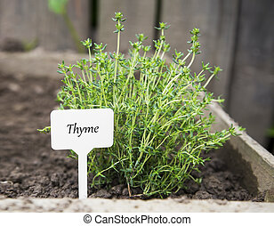 Thyme herb with label in the garden