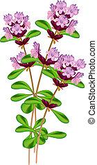 thyme., illustratie, achtergrond., vector, bloeiend, witte