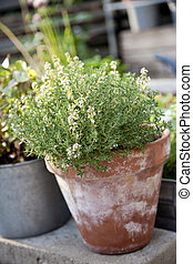 Thyme in a Red Pot