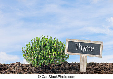 Thyme in the garden with a wooden label