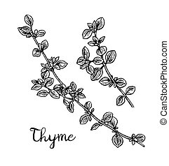 Thyme ink sketch. Isolated on white background. Hand drawn ...