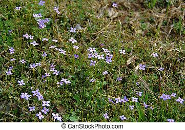 Thyme-leaved Bluets
