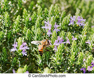 thyme with bee sucking nectar of flowers - thyme is...