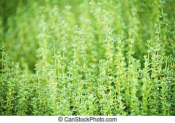 Thyme plants - Fresh green thyme herbs growing in garden