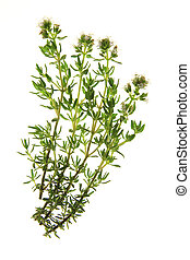 Thyme (Thymus vulgaris) - flowering thyme, before a white...