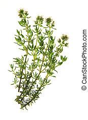 Thyme (Thymus vulgaris) - flowering thyme, before a white...