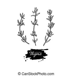 Thyme vector drawing set. Isolated thyme plant and leaves.
