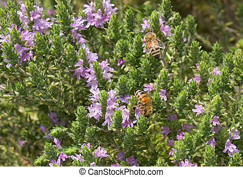 thyme with bee sucking nectar of flowers - thyme is ...