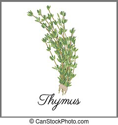 Thymus isolated on white top view. Vector flat illustration ...
