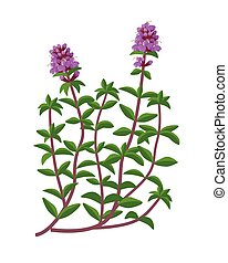 Thymus serpyllum healing flower vector medical illustration ...