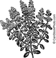 Thymus serpyllum or Breckland Thyme, vintage engraving. -...