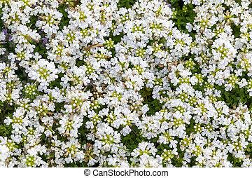 Thymus serpyllum 'Snowdrift'