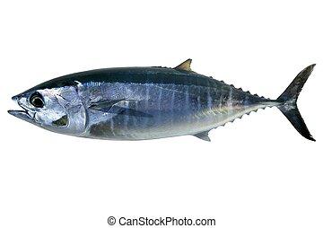 thynnus, thunnus, bluefin, aislado, atún, blanco
